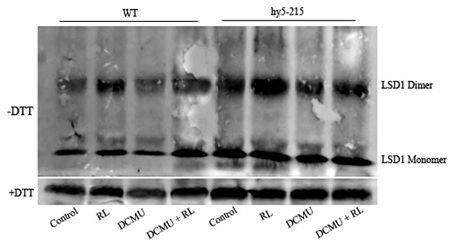 western blot using anti-LSD1 rabbit antibodies