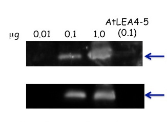 western blot using anti-LEA6 antibodies