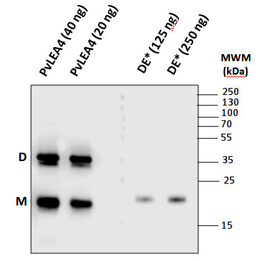 western blot using anti-LEA4-25 antibodies