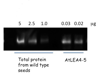 western blot using anti-AtLEA4-5 antibodies