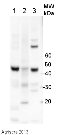 western blot using anti-plant actin antibody