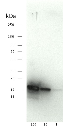 western blot detection of SOD1 aa24-39 using a monoclonal antibody
