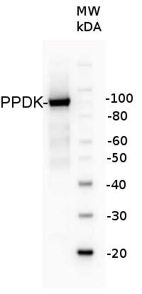 western blot using anti-PPDK antibodies