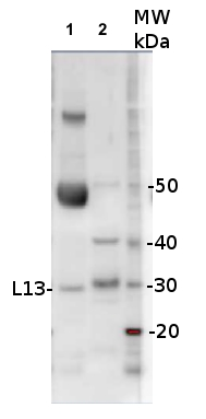 western blot using anti-L13 antibodies