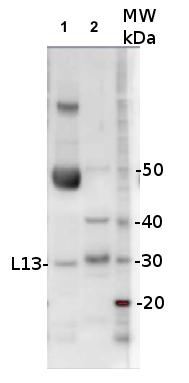 western blot using anti-L13 antibodies