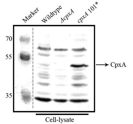 western blot detection using anti-CpxA antibody