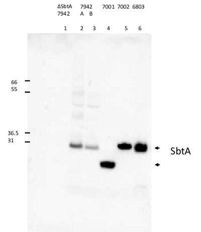 western blot using anti-SbtA antibodies