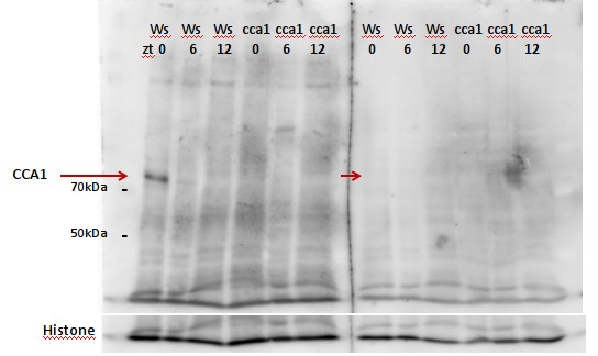 western blot using anti-CCA1 antibodies