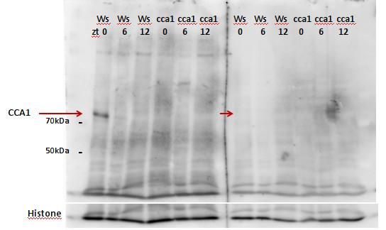 western blot using anti-CCA1 antibodies