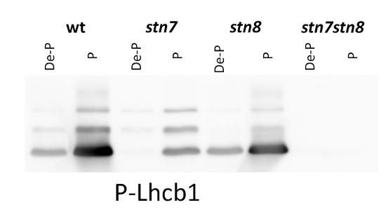 western blot using anti- phosphorylated Lhcb1 antibody