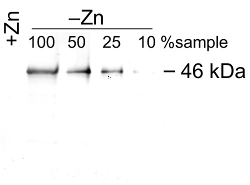 western blot using anti-ZCP1 antibodies