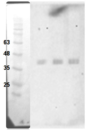 western blot using anti-GOX antibodies