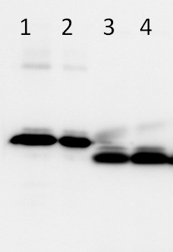 western blot using anti-LHCSR3 antibodies