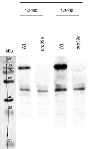 western blot using antiPRP39a antibodies