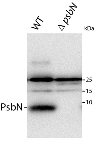 western blot using anti-PsbN antibodies