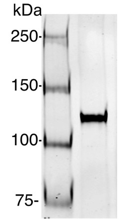 Western blot using anti-AGO1-PAZ antibodies (Chlamydomonas)