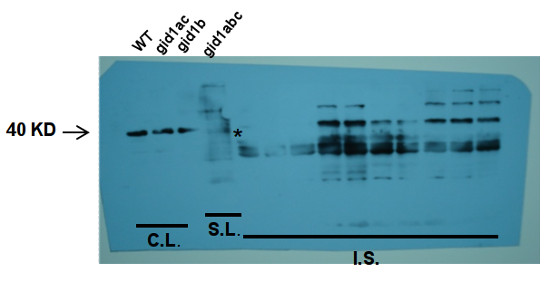western blot using anti-GID1c antibodies