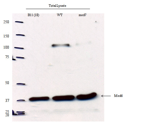 western blot using anti-Med 6 antibodies