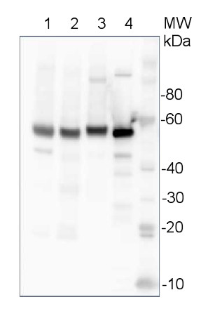western blot using anti-barley UGPase antibodies