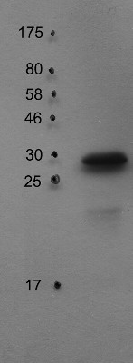 western blot using anti-PsbO2 antibodies