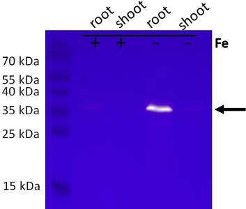 Western blot with anti-KrP antibody