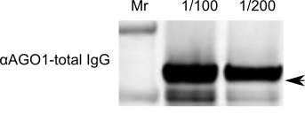 western blot using anti-AGO1 (Chlamydomonas)
