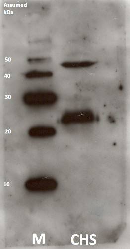 western blot using anti-chlorophyll synthase antibodies