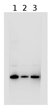 western blot using anti-LhcSR1 antibodies
