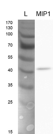 western blot using anti-CreMIP1 antibodies