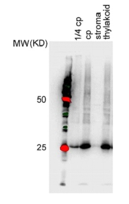 western blot using anti-PSA3 antibodies