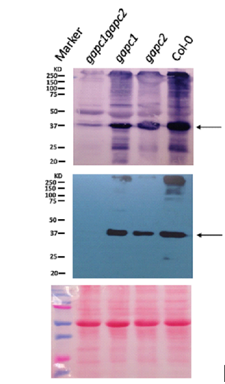 western blot using anti-GAPC1/2 antibodies on Arabidopsis