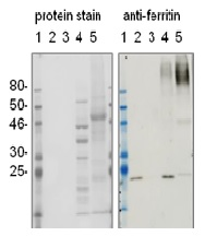 western blot using anti-plant ferritin antibodies