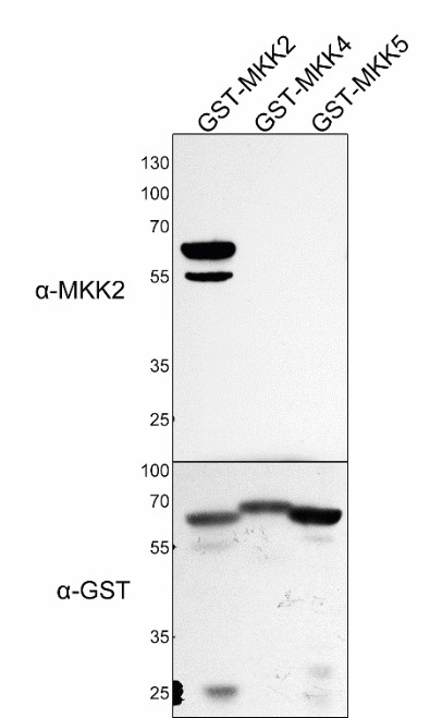 western blot using anti-MKK2 Arabidopsis antibodies