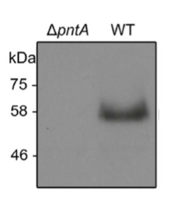 Western blot using anti-PntA antibodies
