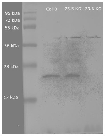 Western blot using anti/HSP23.6 mitochondrial antibodies
