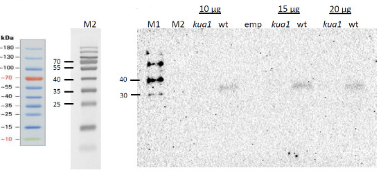 Western blot using anti-KUA1 antibodies