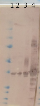 western blot using anti-MHD2 antibodies