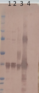 western blot using anti-MDH | Malate dehydrogenase 4, cytoplasmic antibodies