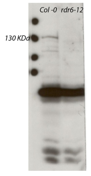 Western blot using anti-RDR6 antibodies