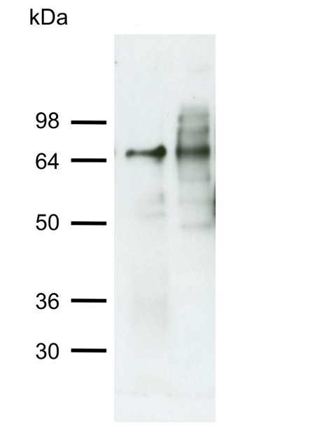 western blot using anti-ATG4 antibodies