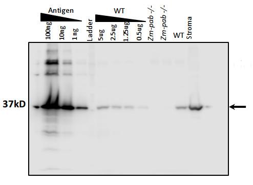 western blot using anti-PAB antibodies on maize tissue