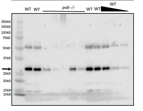 western blot using anti-PAB antibodies on Arabidopsis thaliana tissue