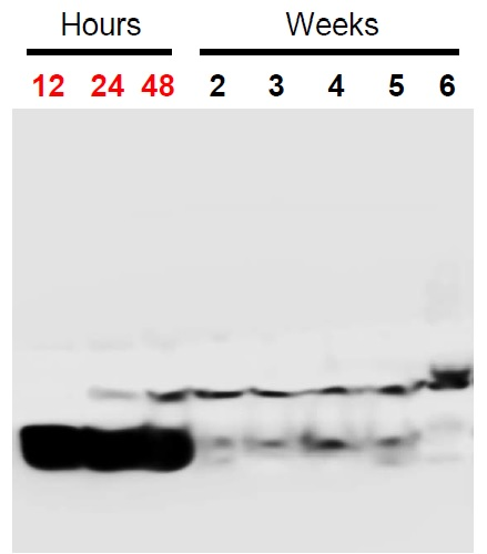 western blot using anti-RIQ1 antibodies