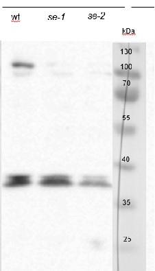 western blot using chicken anti-serrate antibodies