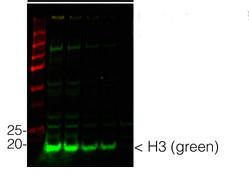 western blot using anti-plant histone 3, chicken antibody