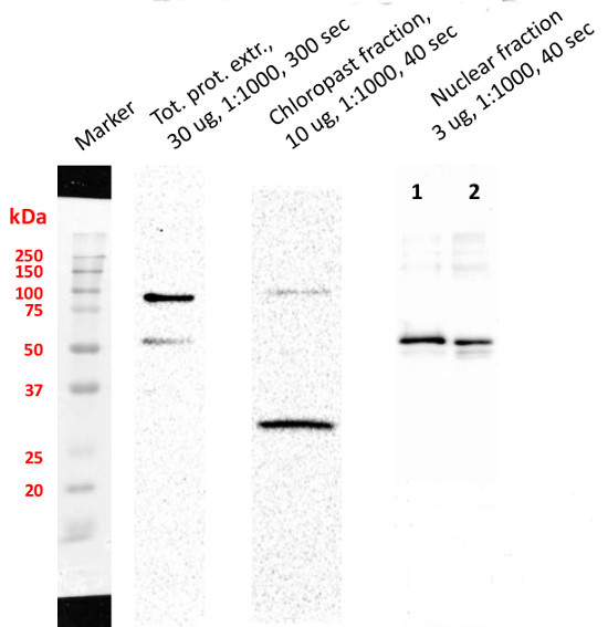 western blot using anti-SUN1,2 antibodies