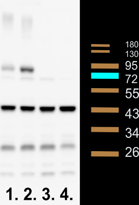 western blot using anti-Phly (At4g25290) antibodies