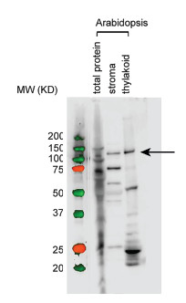 western blot using anti-RpoB antibodies for Arabidopsis