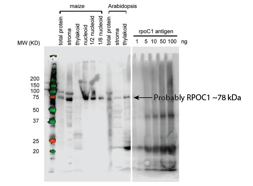 western blot using anti-RpoC antibodies