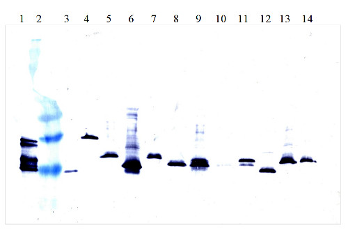 western blot using goat anti-interferon alpha antibodies on various subtypes of interferon alpha